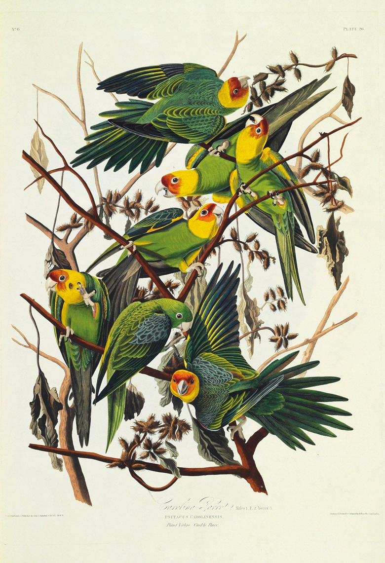 Birds of America  to Auction
